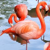 Les flamants roses