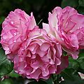 Trio froufrous roses_13 22 06_5523