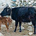 Tibetaine / 西藏牛
