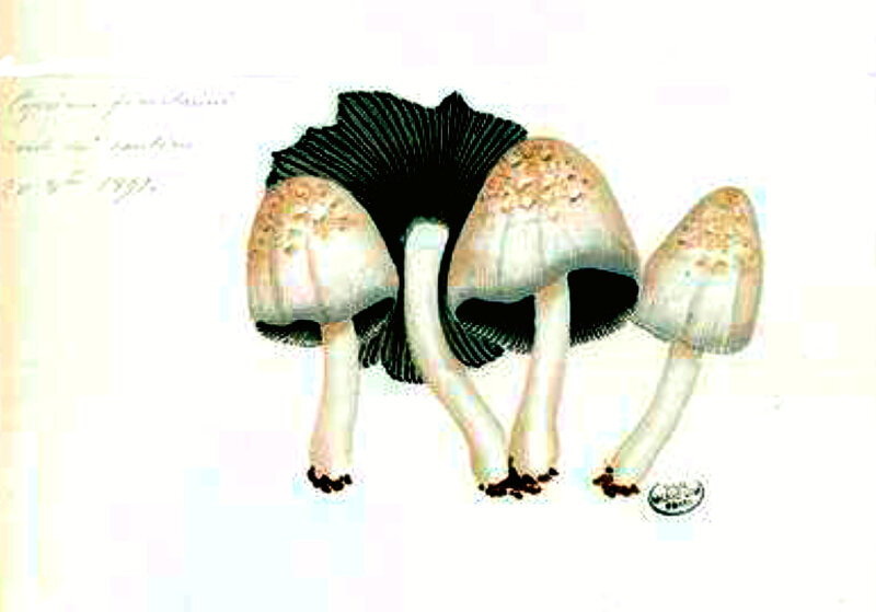67 Coprinus fimetarius cinereus close b