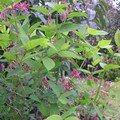 Lonicera tatarica Hack's Red -