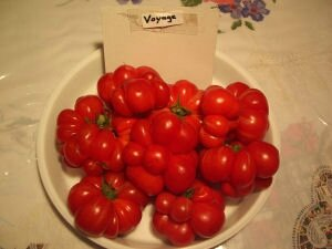 19 - tomate voyage - www.passionpotager.canalblog.com