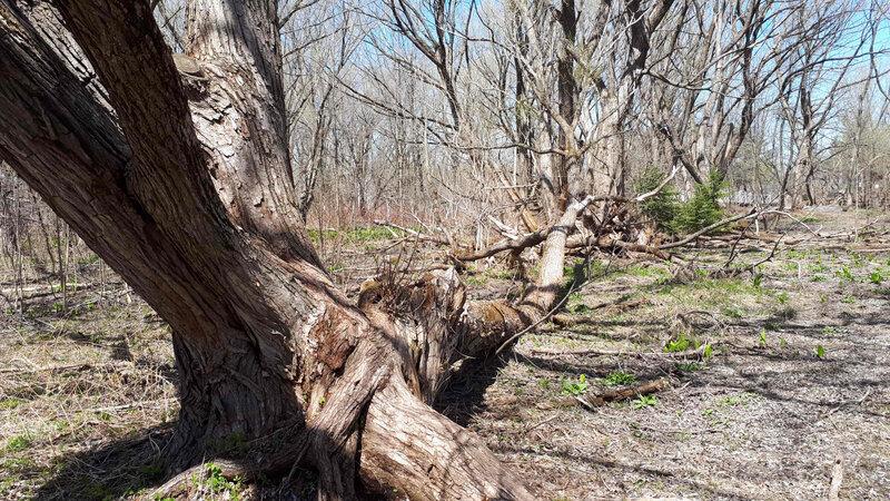Vieux arbres morts
