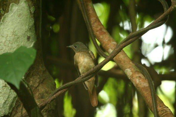 Philentoma pyrrhopterum femelle_Taman Negara_XRu
