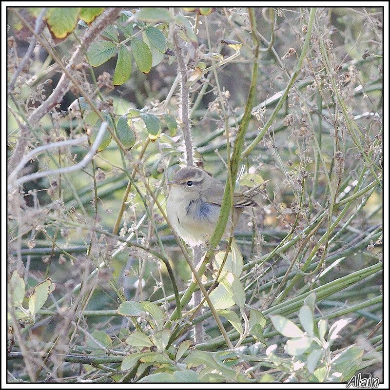 Pouillot de Schwarz, les non-ornithos ne peuvent pas comprendre pourquoi ce petit piaf terne et discret provoque l'engouement des amateurs...