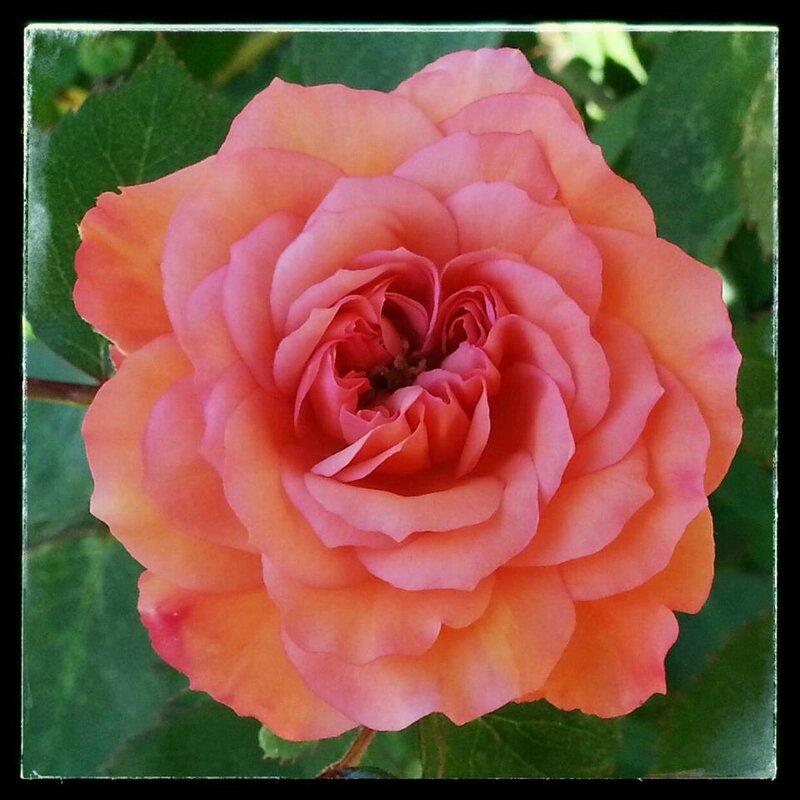 årets første rose