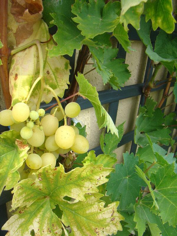 vigne2