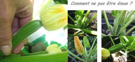 Fleurs_de_courgette_farcies__cueillette_