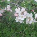 Floraison des pommiers. Avril 2010.