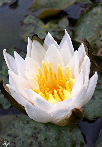 Fleurs nénuphare (13)