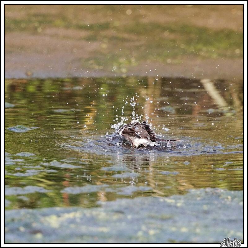 le bain de la Bergeronnette