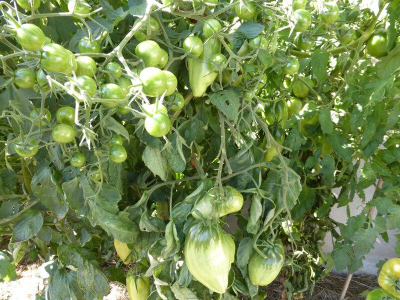 22-tomates (10)