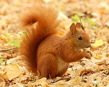 220px-Red_Squirrel_-_Lazienki