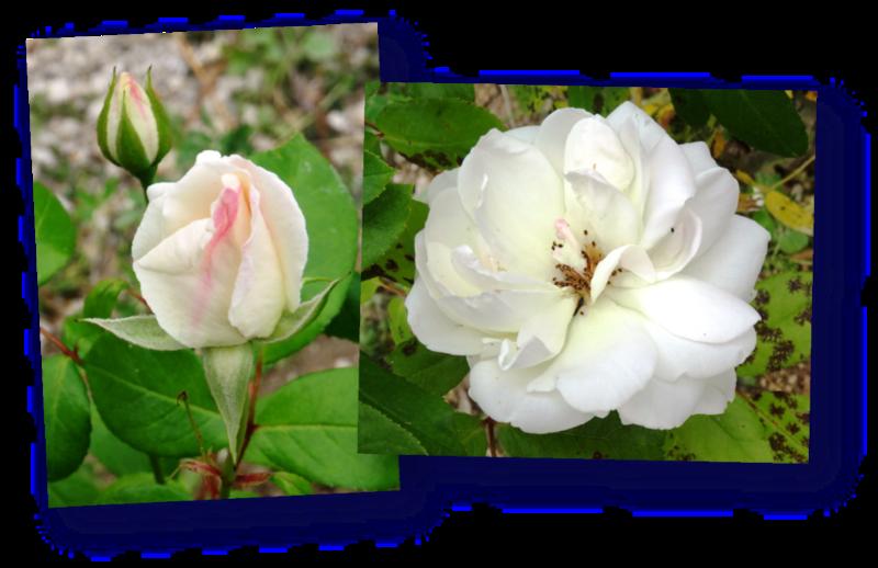 rosier white symphony