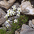 Saxifrage fausse-androsace