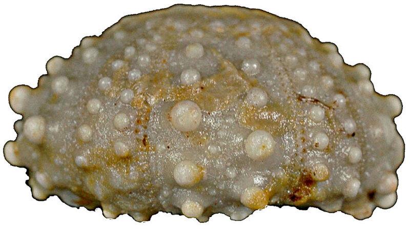 Goniopygus peltatus 13068