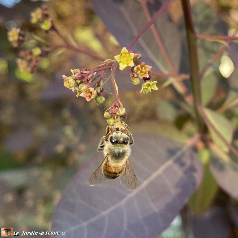Cotinus-et-abeille