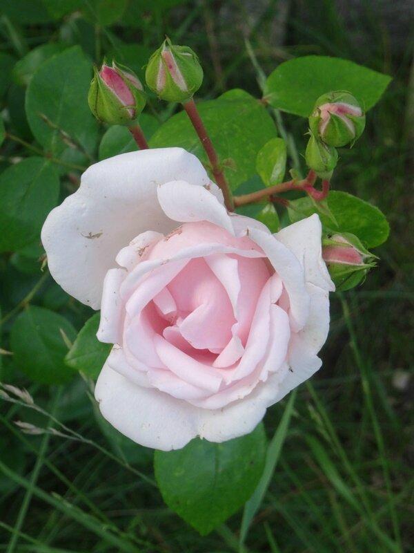 rosier new dawn