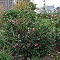Dans mon jardin, il y a ... des camélias #1