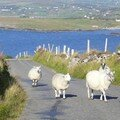 Embouteillage de moutons