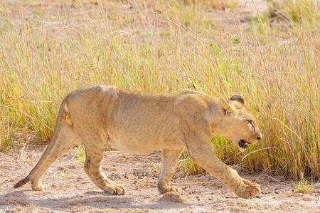 Jeune_lion__parc_d_Amboseli__Kenya__4_