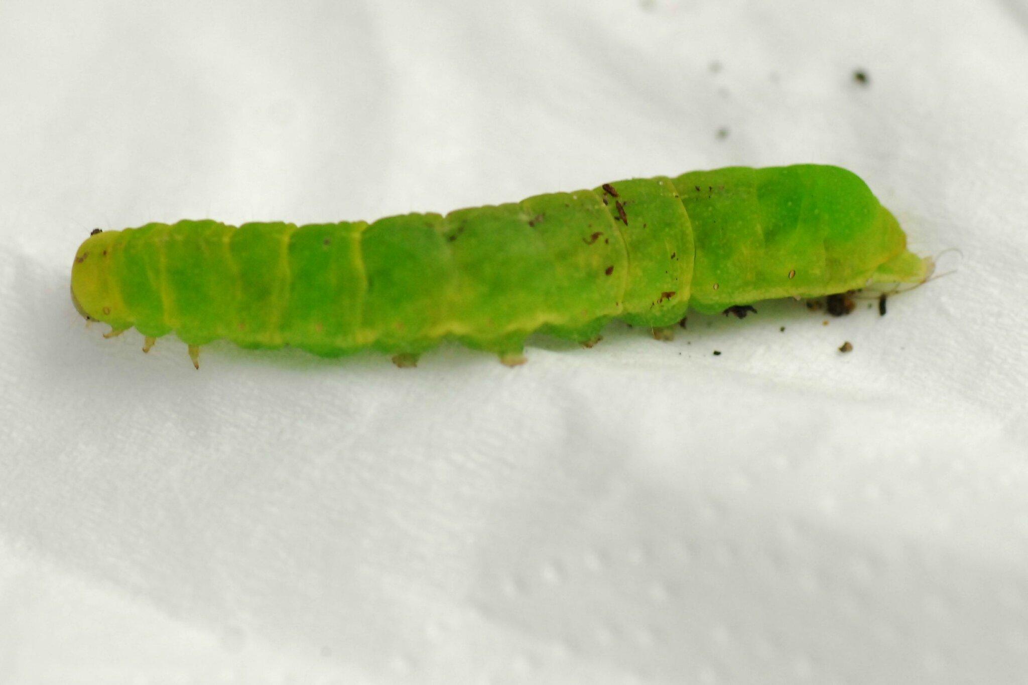 La Méticuleuse (Phlogophora meticulosa) chenille