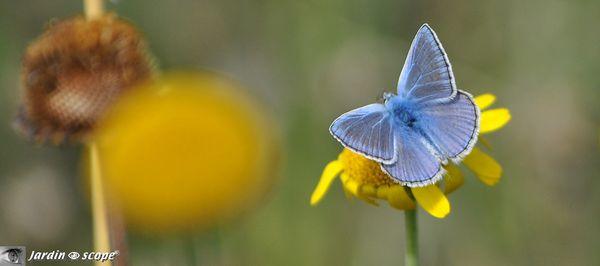 Argus-bleu
