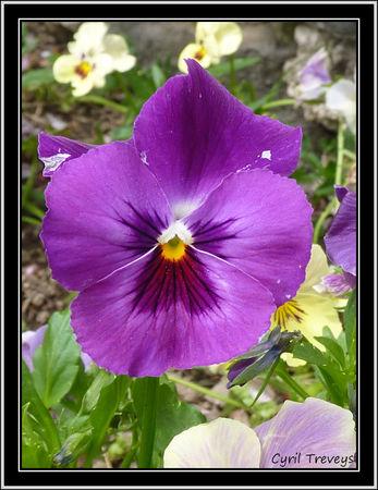 2010_06_01_Une_fleur_de_pens_e__2_