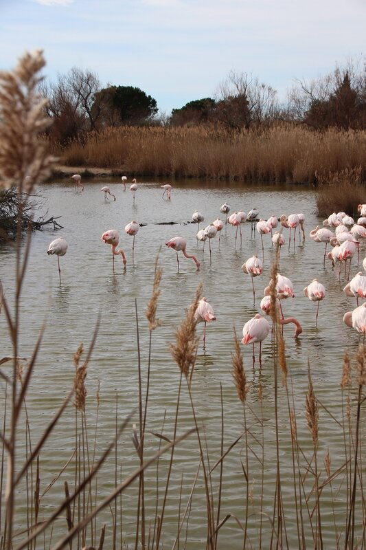 camargue_reserve_flamants_roses