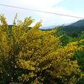 2008 05 18 Des genets en fleurs à Roumezoux