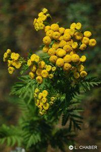 les-elixirs-floraux-deva-tanaisie-1113