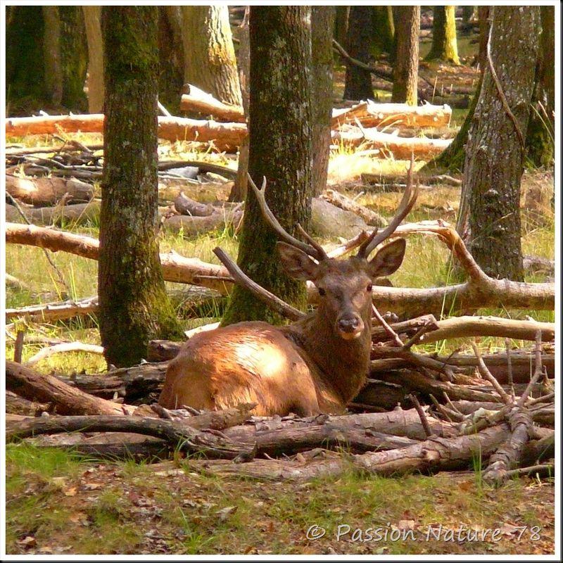 Le brame du Cerf 2009 en forêt de Rambouillet (5)