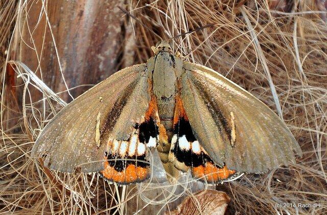Papillon du palmier • Paysandisia archon (Source Flickr)