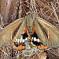 Qui sont ces papillons qui menacent nos palmiers ?
