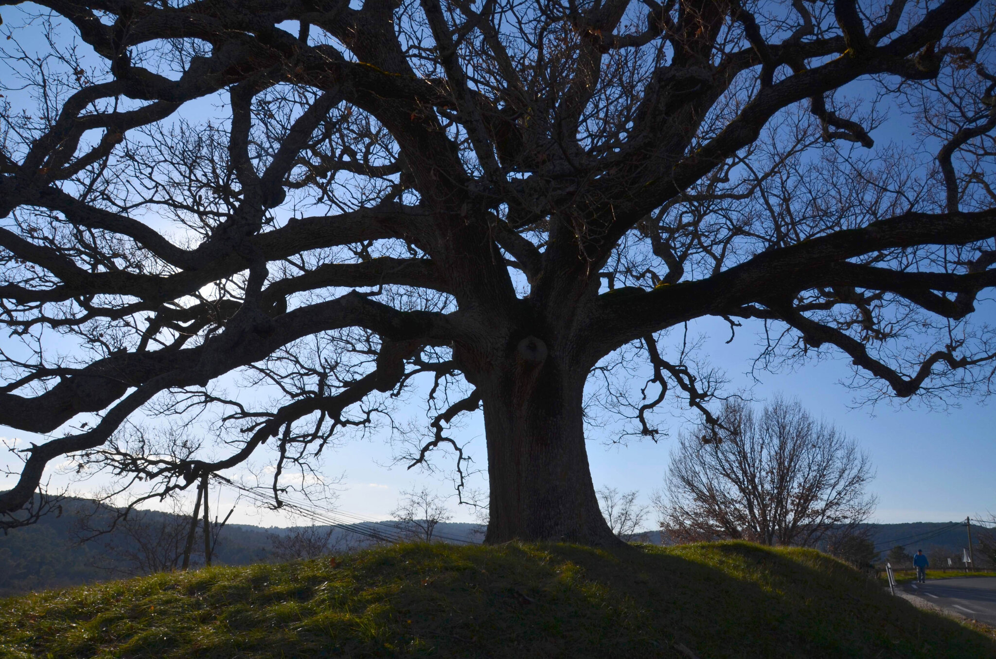 Les chênes remarquables du Luberon