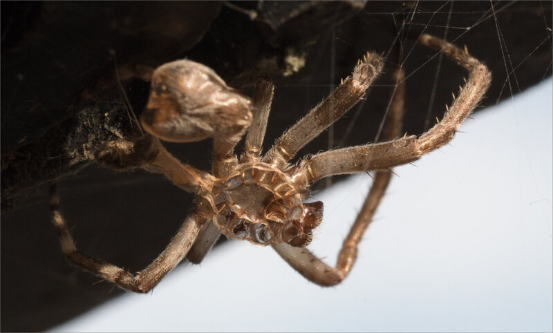 SM araign mue 280718