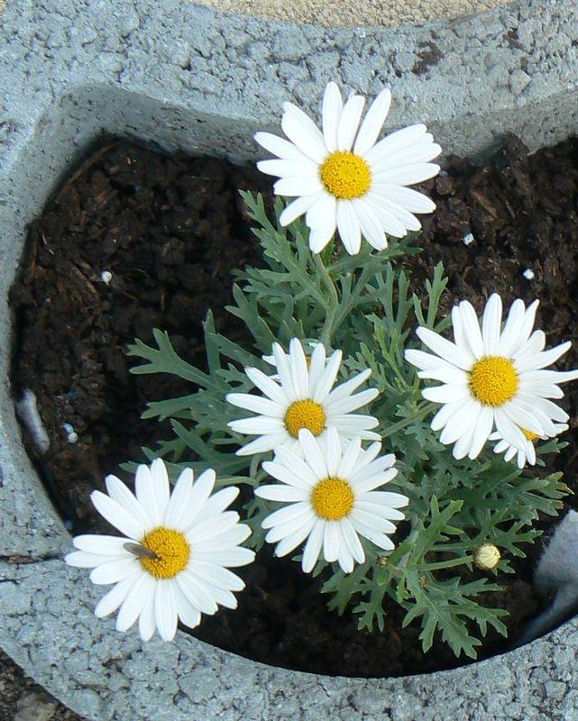 fleurs du jardin 07 06 2010 032