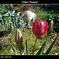 Tulipes frangées