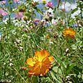 Fleurs des champs en parc...