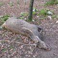 La mort du cerf