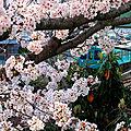 Sakura-2: les cerisiers du parc à oji