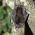 Myotis cf. riparius - Murin des ruisseaux