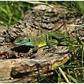 Lézard vert occidental : lacerta bilineata