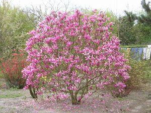 magnolia_x_susan_ens313599788