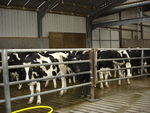 vaches_laitieres