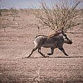 phacochère / wart hog