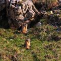 marmotteIMG_2552 - Copie