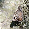 Le Faune - Hipparchia statilinus (1)