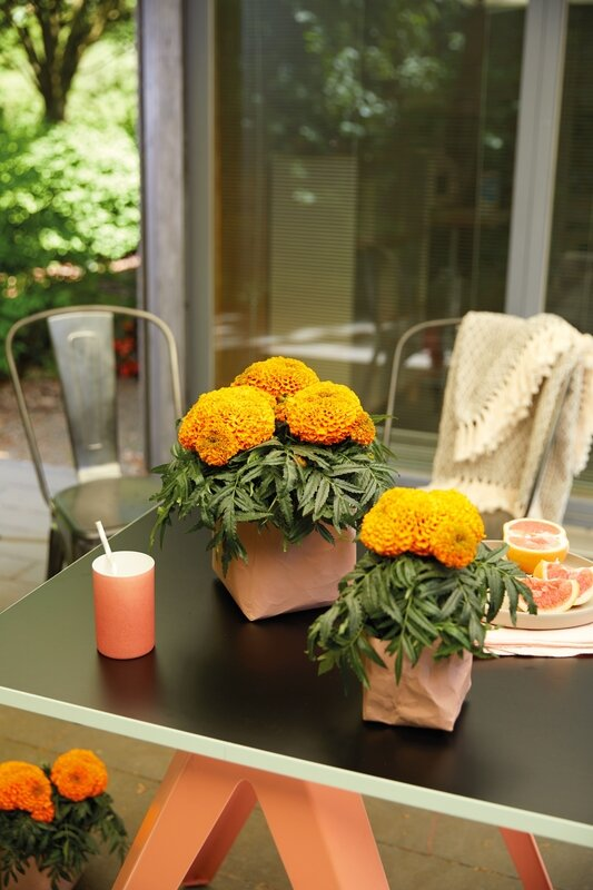 Tagetes-Little-Duck-Orange-lifestyle