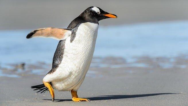 pingoin